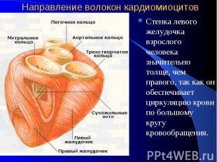 Направление волокон кардиомиоцитов Стенка левого желудочка взрослого человека зн