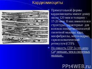 Кардиомиоциты Прямоугольной формы кардиомиоциты имеют длину около 120 мкм и толщ