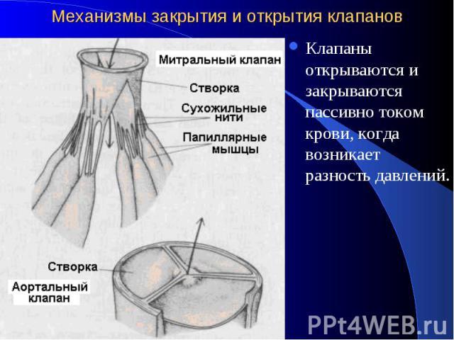 Механизмы закрытия и открытия клапанов Клапаны открываются и закрываются пассивно током крови, когда возникает разность давлений.