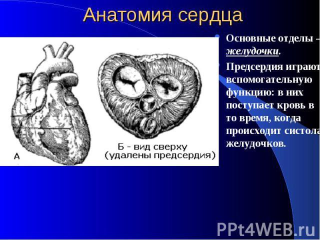 Анатомия сердца Основные отделы – желудочки. Предсердия играют вспомогательную функцию: в них поступает кровь в то время, когда происходит систола желудочков.