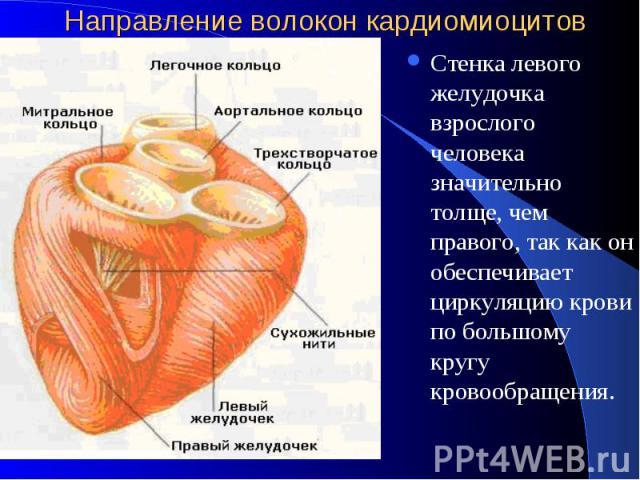 Направление волокон кардиомиоцитов Стенка левого желудочка взрослого человека значительно толще, чем правого, так как он обеспечивает циркуляцию крови по большому кругу кровообращения.