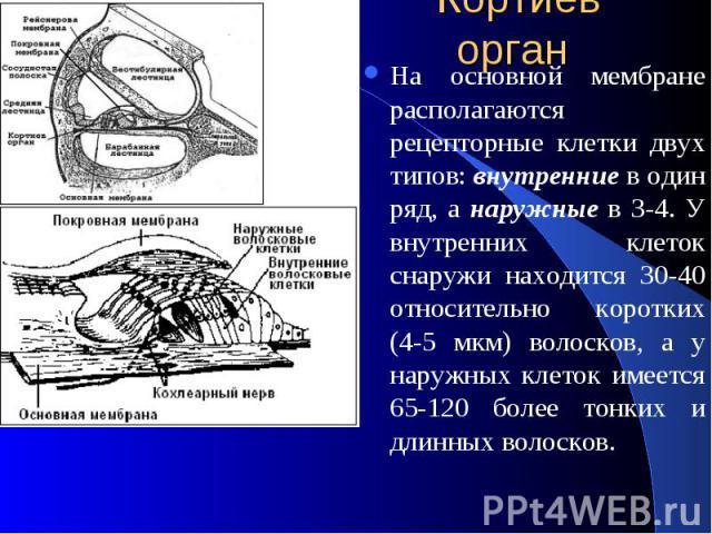 Кортиев орган На основной мембране располагаются рецепторные клетки двух типов: внутренние в один ряд, а наружные в 3-4. У внутренних клеток снаружи находится 30-40 относительно коротких (4-5 мкм) волосков, а у наружных клеток имеется 65-120 более т…