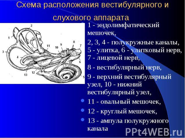 Схема расположения вестибулярного и слухового аппарата 1 - эндолимфатический мешочек, 2, 3, 4 - полукружные каналы, 5 - улитка, 6 - улитковый нерв, 7 - лицевой нерв, 8 - вестибулярный нерв, 9 - верхний вестибулярный узел, 10 - нижний вестибулярный у…