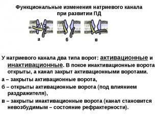 У натриевого канала два типа ворот: активационные и инактивационные. В покое ина