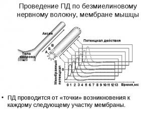 ПД проводится от «точки» возникновения к каждому следующему участку мембраны. ПД