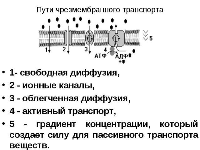 1- свободная диффузия, 1- свободная диффузия, 2 - ионные каналы, 3 - облегченная диффузия, 4 - активный транспорт, 5 - градиент концентрации, который создает силу для пассивного транспорта веществ.