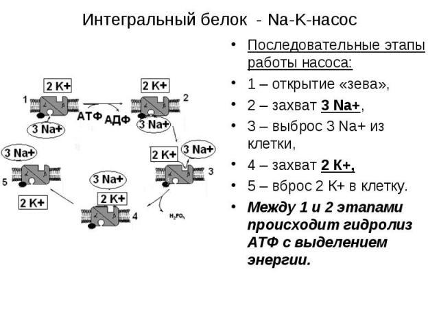 Последовательные этапы работы насоса: Последовательные этапы работы насоса: 1 – открытие «зева», 2 – захват 3 Na+, 3 – выброс 3 Na+ из клетки, 4 – захват 2 К+, 5 – вброс 2 К+ в клетку. Между 1 и 2 этапами происходит гидролиз АТФ с выделением энергии.