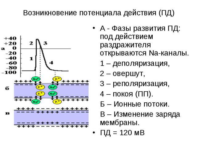 А - Фазы развития ПД: под действием раздражителя открываются Na-каналы. А - Фазы развития ПД: под действием раздражителя открываются Na-каналы. 1 – деполяризация, 2 – овершут, 3 – реполяризация, 4 – покоя (ПП). Б – Ионные потоки. В – Изменение заряд…