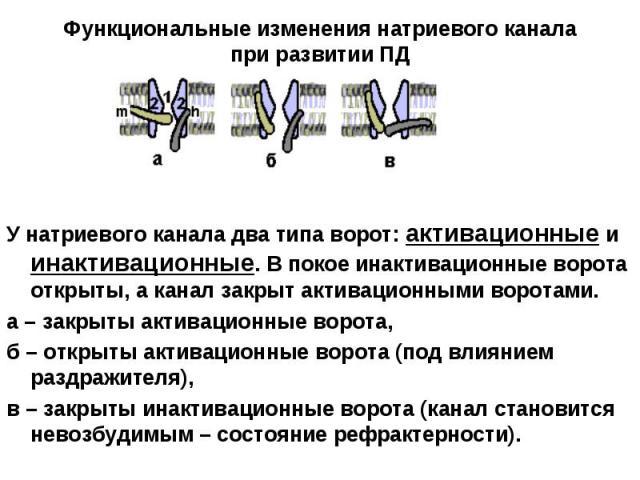 У натриевого канала два типа ворот: активационные и инактивационные. В покое инактивационные ворота открыты, а канал закрыт активационными воротами. У натриевого канала два типа ворот: активационные и инактивационные. В покое инактивационные ворота …