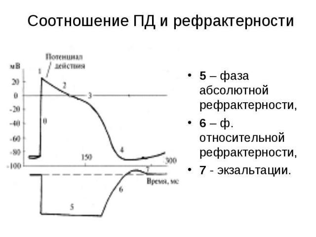 5 – фаза абсолютной рефрактерности, 5 – фаза абсолютной рефрактерности, 6 – ф. относительной рефрактерности, 7 - экзальтации.