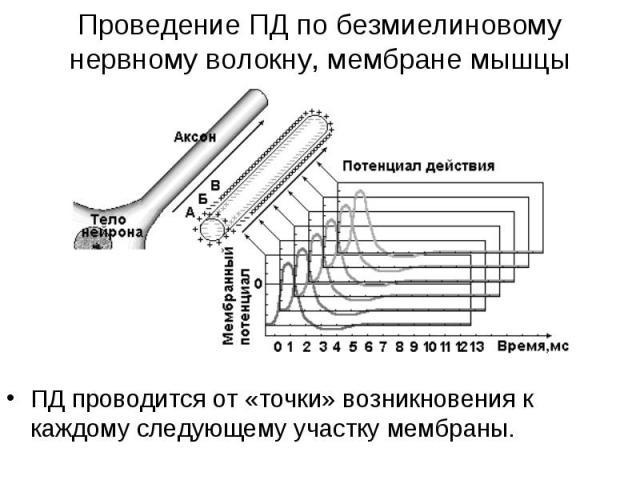 ПД проводится от «точки» возникновения к каждому следующему участку мембраны. ПД проводится от «точки» возникновения к каждому следующему участку мембраны.