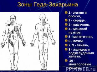 Зоны Геда-Захарьина 1 - легкие и бронхи, 2 - сердце, 3 - кишечник, 4 - мочевой п