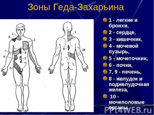 Зоны Геда-Захарьина 1 - легкие и бронхи, 2 - сердце, 3 - кишечник, 4 - мочевой пузырь, 5 - мочеточник, 6 - почки, 7, 9 - печень, 8 - желудок и поджелудочная железа, 10 - мочеполовые органы.