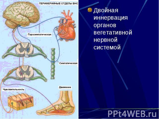 Двойная иннервация органов вегетативной нервной системой