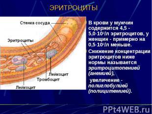 ЭРИТРОЦИТЫ В крови у мужчин содержится 4,5 - 5,0 1012/л эритроцитов, у женщин -