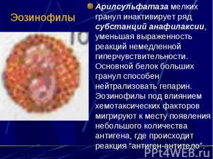 Эозинофилы Арилсульфатаза мелких гранул инактивирует ряд субстанций анафилаксии,