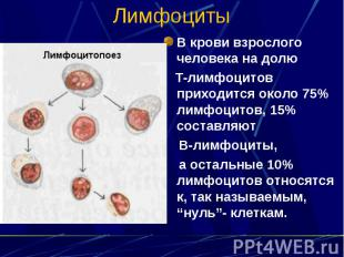 Лимфоциты В крови взрослого человека на долю Т-лимфоцитов приходится около 75% л