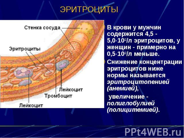 ЭРИТРОЦИТЫ В крови у мужчин содержится 4,5 - 5,0 1012/л эритроцитов, у женщин - примерно на 0,5 1012/л меньше. Снижение концентрации эритроцитов ниже нормы называется эритроцитопенией (анемией), увеличение - полиглобулией (полицитемией).