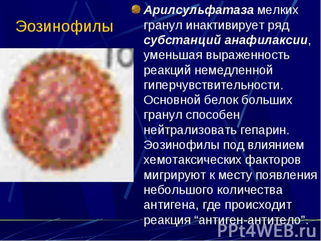 Эозинофилы Арилсульфатаза мелких гранул инактивирует ряд субстанций анафилаксии, уменьшая выраженность реакций немедленной гиперчувствительности. Основной белок больших гранул способен нейтрализовать гепарин. Эозинофилы под влиянием хемотаксических …