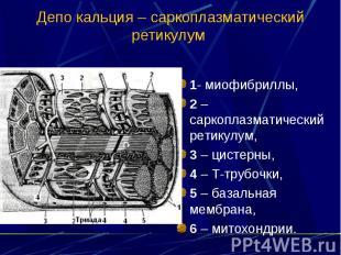 Депо кальция – саркоплазматический ретикулум 1- миофибриллы, 2 – саркоплазматиче