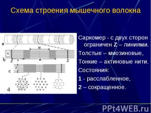 Схема строения мышечного волокна Саркомер - с двух сторон ограничен Z – линиями.