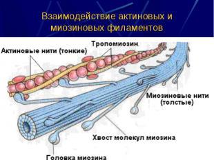 Взаимодействие актиновых и миозиновых филаментов