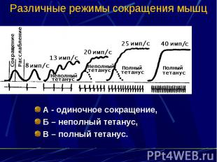 Различные режимы сокращения мышц А - одиночное сокращение, Б – неполный тетанус,