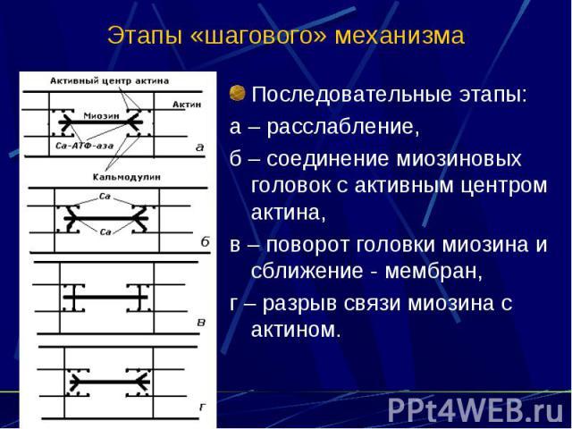 Этапы «шагового» механизма Последовательные этапы: а – расслабление, б – соединение миозиновых головок с активным центром актина, в – поворот головки миозина и сближение - мембран, г – разрыв связи миозина с актином.