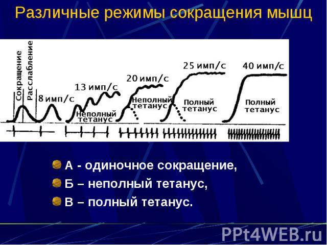 Различные режимы сокращения мышц А - одиночное сокращение, Б – неполный тетанус, В – полный тетанус.