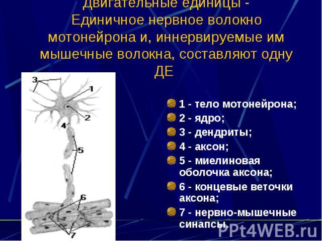 Двигательные единицы - Единичное нервное волокно мотонейрона и, иннервируемые им мышечные волокна, составляют одну ДЕ 1 - тело мотонейрона; 2 - ядро; 3 - дендриты; 4 - аксон; 5 - миелиновая оболочка аксона; 6 - концевые веточки аксона; 7 - нервно-мы…
