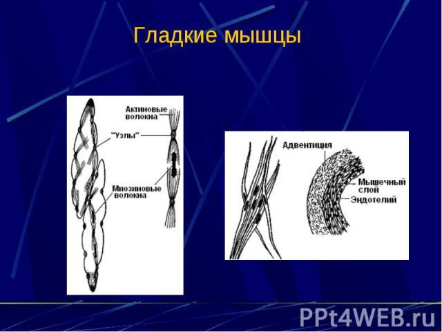 Гладкие мышцы