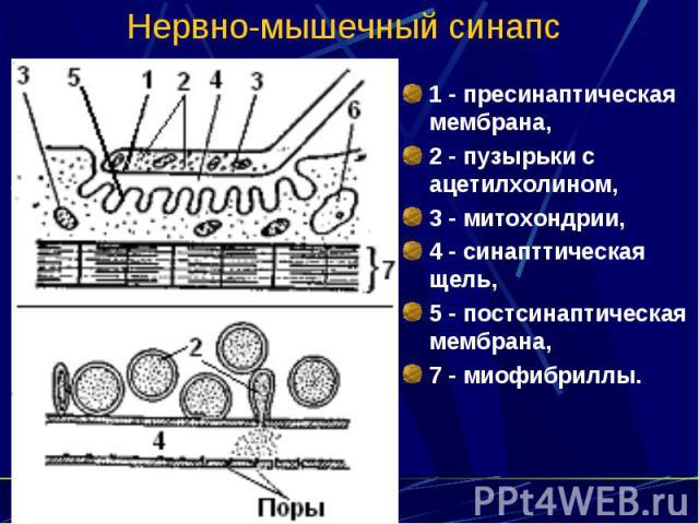 Нервно-мышечный синапс 1 - пресинаптическая мембрана, 2 - пузырьки с ацетилхолином, 3 - митохондрии, 4 - синапттическая щель, 5 - постсинаптическая мембрана, 7 - миофибриллы.