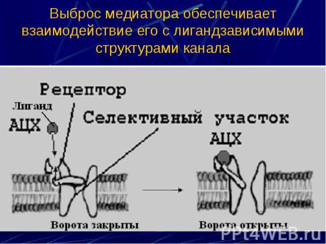 Выброс медиатора обеспечивает взаимодействие его с лигандзависимыми структурами канала