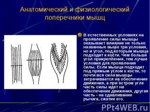 Анатомический и физиологический поперечники мышц В естественных условиях на проя