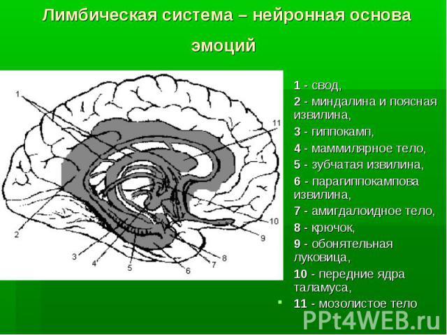 Лимбическая система – нейронная основа эмоций 1 - свод, 2 - миндалина и поясная извилина, 3 - гиппокамп, 4 - маммилярное тело, 5 - зубчатая извилина, 6 - парагиппокампова извилина, 7 - амигдалоидное тело, 8 - крючок, 9 - обонятельная луковица, 10 - …