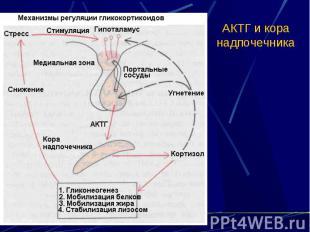 АКТГ и кора надпочечника