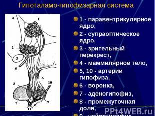 Гипоталамо-гипофизарная система 1 - паравентрикулярное ядро, 2 - супраоптическое
