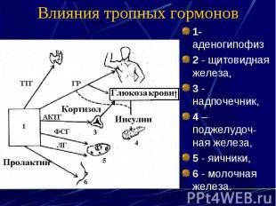 Влияния тропных гормонов 1- аденогипофиз 2 - щитовидная железа, 3 - надпочечник,