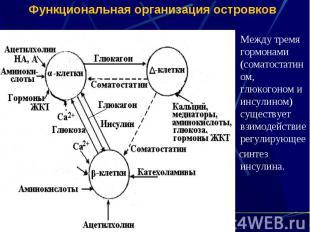 Функциональная организация островков Между тремя гормонами (соматостатином, глюк