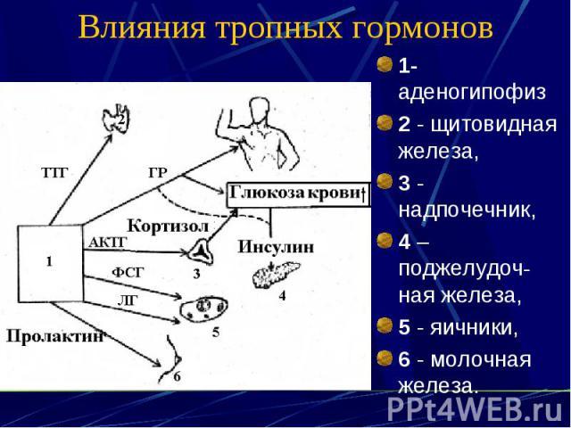 Влияния тропных гормонов 1- аденогипофиз 2 - щитовидная железа, 3 - надпочечник, 4 – поджелудоч-ная железа, 5 - яичники, 6 - молочная железа.