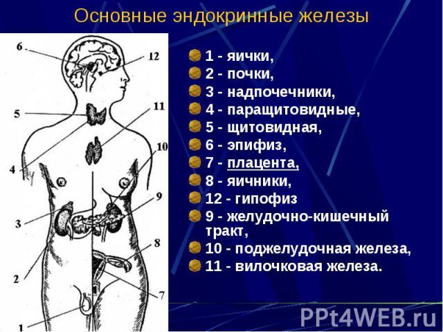 Основные эндокринные железы 1 - яички, 2 - почки, 3 - надпочечники, 4 - паращитовидные, 5 - щитовидная, 6 - эпифиз, 7 - плацента, 8 - яичники, 12 - гипофиз 9 - желудочно-кишечный тракт, 10 - поджелудочная железа, 11 - вилочковая железа.