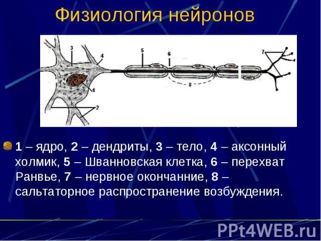 Физиология нейронов 1 – ядро, 2 – дендриты, 3 – тело, 4 – аксонный холмик, 5 – Шванновская клетка, 6 – перехват Ранвье, 7 – нервное окончанние, 8 – сальтаторное распространение возбуждения.