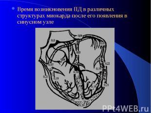 Время возникновения ПД в различных структурах миокарда после его появления в син