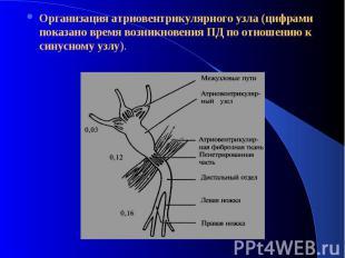 Организация атриовентрикулярного узла (цифрами показано время возникновения ПД п