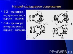 Натрий-кальциевое сопряжение 1-2 – транспорт внутрь кальция, а наружу – натрия;