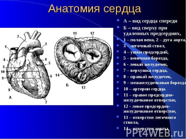 Анатомия сердца А – вид сердца спереди Б – вид сверху при удаленных предсердиях, 1 – полая вена, 2 – дуга аорта, 3 – легочный ствол, 4 – ушки предсердий, 5 – венечная борозда, 6 - левый желудочек, 7 – верхушка сердца, 8 – правый желудочек, 9 – межже…