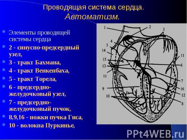 Проводящая система сердца. Автоматизм. Элементы проводящей системы сердца 2 - синусно-предсердный узел, 3 - тракт Бахмана, 4 - тракт Венкенбаха, 5 - тракт Торела, 6 - предсердно-желудочковый узел, 7 - предсердно-желудочковый пучок, 8,9,16 - ножки пу…
