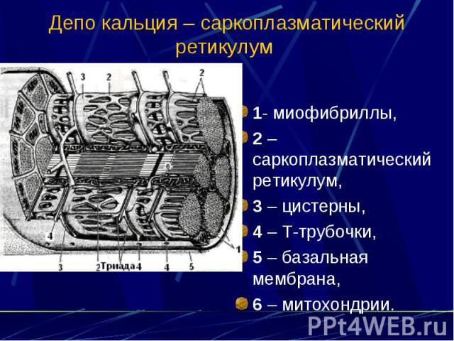 Депо кальция – саркоплазматический ретикулум 1- миофибриллы, 2 – саркоплазматический ретикулум, 3 – цистерны, 4 – Т-трубочки, 5 – базальная мембрана, 6 – митохондрии.