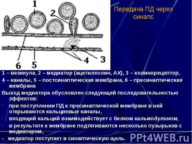 Передача ПД через синапс 1 – везикула, 2 – медиатор (ацетилхолин, АХ), 3 – холинорецептор, 4 – каналы, 5 – постсинаптическая мембрана, 6 – пресинаптическая мембрана Выход медиатора обусловлен следующей последовательностью эффектов: при поступлении П…