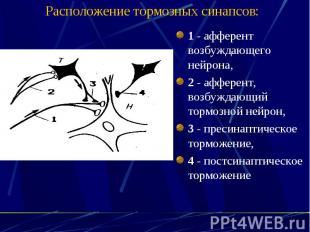 Расположение тормозных синапсов: 1 - афферент возбуждающего нейрона, 2 - афферен